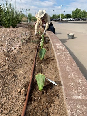 Workers and volunteers at the New Mexico Farm & Ranch Heritage Museum are in the process of planting about 175 different types of irises in the raised beds in front of the museum's Bruce King Building.