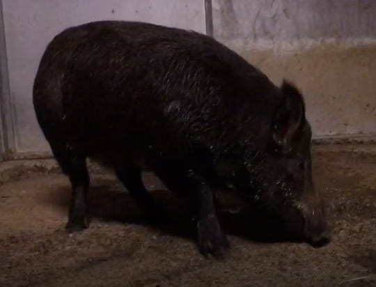The wild pig was captured in Corona on Thursday, Aug. 22, 2019.