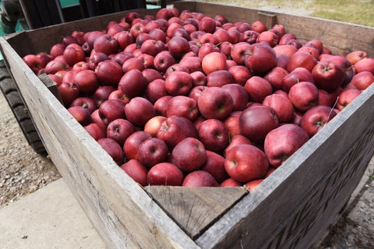 A bin of apples waits to be pressed into cider.