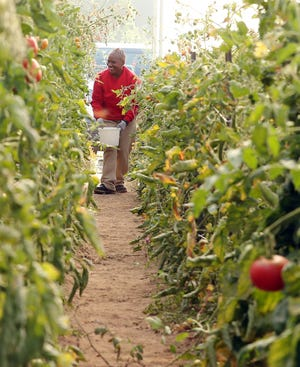 Beatrice, an inmate at Mission Creek Corrections Center, makes her way down a row harvesting cherry tomatoes in the greenhouse at the Kitsap Conversation District on Monday. The conservation district hosts the GRACE Garden, a garden where inmates work, growing produce for local foodbanks.