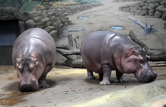Genny and Button are able to walk right out of the exhibit onto land.  The exhibit is at an incline for them to easily do this.