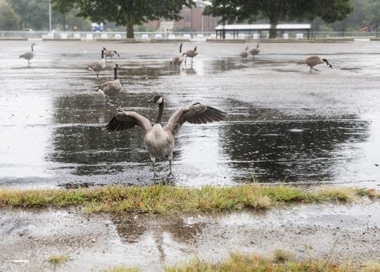 A large number of geese form in a parking lot beside Yoctange Park during a rainy Monday morning in Chillicothe.