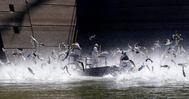 Ikan mas melompat keluar dari Sungai Cumberland di Grand Rivers, Ky. Saat ahli biologi bekerja untuk mengeluarkannya dari air selama demonstrasi elektrofishing pada 1 Agustus untuk menunjukkan populasi besar ikan mas invasif di sungai.