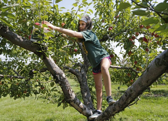 Madelyn Allen of Appleton climbs a tree to grab apples in 2017 at Star Orchard  in Kaukauna.