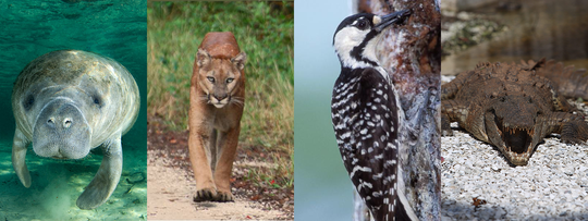 The manatee, Florida panther, red-cockaded woodpecker and American crocodile are all species listed under the Endangered Species Act.