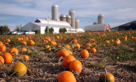 Pumpkins fill a field at the Delzer's Pumpkin Farm in Oconto Falls.