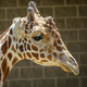 NEW Zoo's beloved giraffe, Hodari, died Sunday