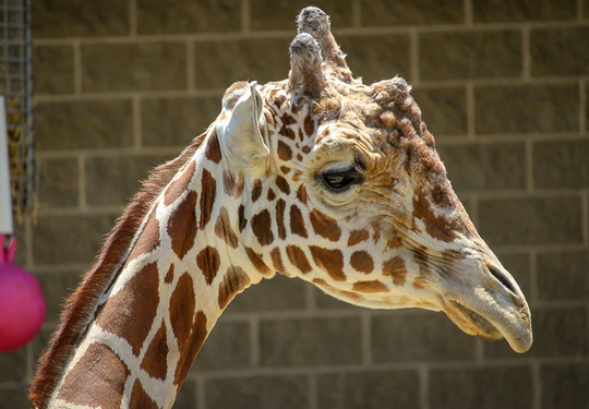 Hodari, the male giraffe in NEW Zoo, died Sunday, Aug. 25.