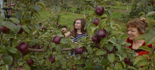 Gail Haag, right, picks apples with Hayley LeRoy, both of Sturgeon Bay, at Choice Orchards in 2017.