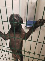 A dog at the Henderson animal shelter is seen in this Facebook photo from the Humane Society of Henderson County.