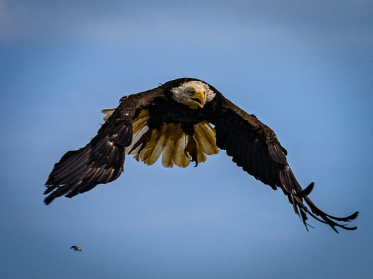 The mature female eagle moments after its release at Mutton Hunk Fen Natural Area Preserve near Parksley.