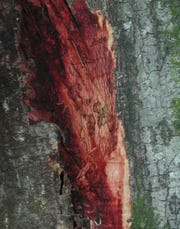 """In oak trees, Phytophthora ramorum causes a """"bleeding"""" canker in which wood and bark turn reddish brown, and red liquid seeps out from cracks in the bark."""