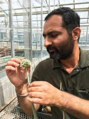 Jiffinvir Singh Khosa, a postdoctoral scientist in the labs of Patrick Krysan and Michael Havey at UW–Madison, inspects an onion flower to check if it is at the proper developmental stage to supply tissue for genetic transformation.