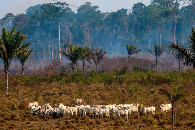Cattle graze with a burnt area in the background after a fire in the Amazon rainforest near Novo Progresso, Para state, Brazil, on August 25, 2019.