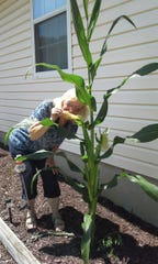 Virginia Jacovelli poses for a fun photo with the cornstalk that sprouted in her garden. In July, the plant had three ears ... but that was just the start of it.