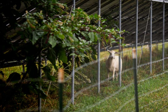 Sheep graze under the solar panels at The Antioch College Farm in Yellow Springs, Ohio Monday, August 26, 2019.