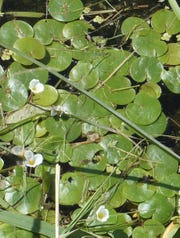 Dense mats of European frogbit can form in slow-moving waters, causing problems for waterfowl and recreation.