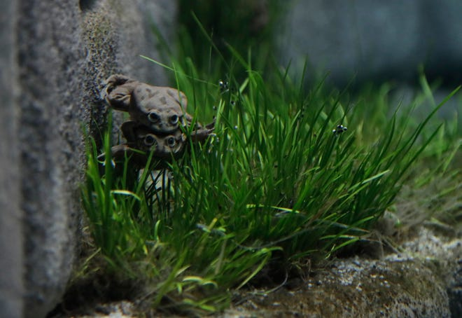 Critically endangered Titicaca water frogs in their aquarium at the Prague Zoo, Czech Republic, Tuesday, Aug. 27, 2019.