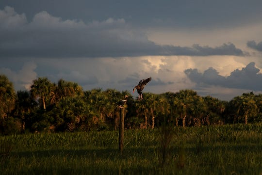 Black-bellied whistling ducks roost on fence posts on a marsh at Corkscrew Regional Ecosystem Watershed on an August evening. They were formerly known as tree ducks because they can nest or perch in trees.