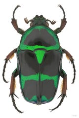 Artist Bob Sober creates larger-than-life photos of insects using high-resolution digital cameras, powerful software applications and other cutting-edge technology. Pictured here is a scarab beetle.