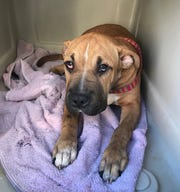 Sarabi, a now 7-month-old Shar Pei mix, was hospitalized for six days after contracting parvovirus.
