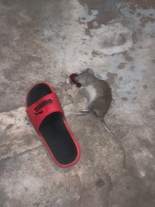 Nikki Heddens found a dead rat in her rental home Friday, Aug. 23, 2019 after workers from a management company placed poison in the basement.