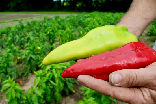 Beaver Dam Peppers are large and versatile.