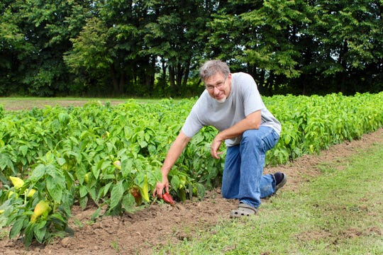 Reeseville farmer John Hendrickson checks his heirloom Beaver Dam Pepper plants.