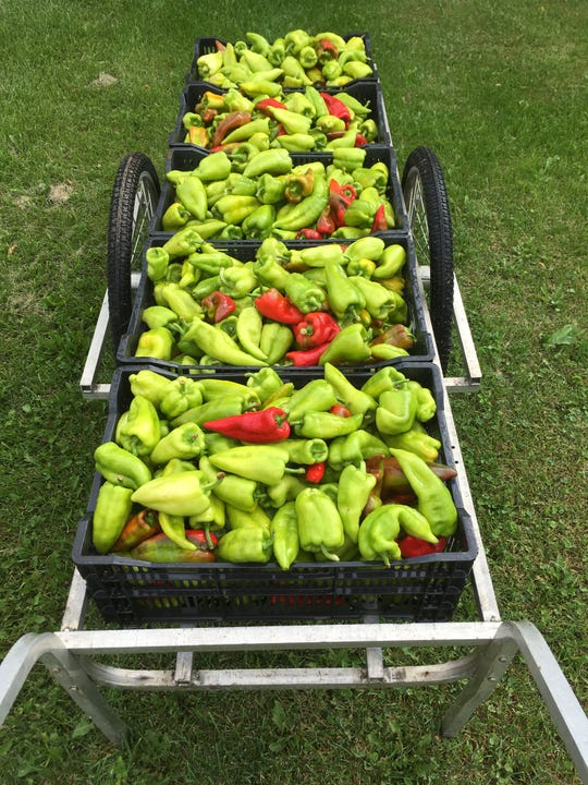 Freshly picked Beaver Dam Peppers in red and green.