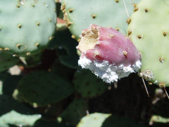 The cochineal feeding on cactus fruit hide underneath plant parts to stay cooler.