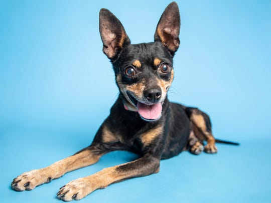 Rolf is available for adoption on Sept. 1, 2019, at noon at 1521 W. Dobbins Road in Phoenix. For more information, call 602-997-7585 and ask for animal number 612894.