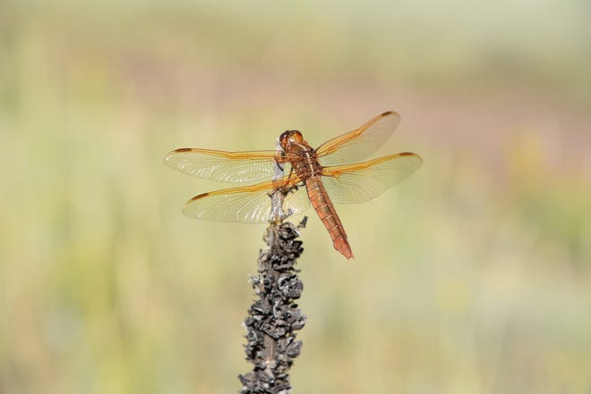 One of the key ways to determine the health of bosque restoration sites is to observe dragonflies and damselflies.