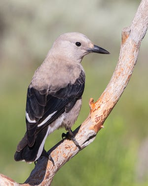 The Clark's nutcracker helps preserve alpine ecosystems in the western United States.