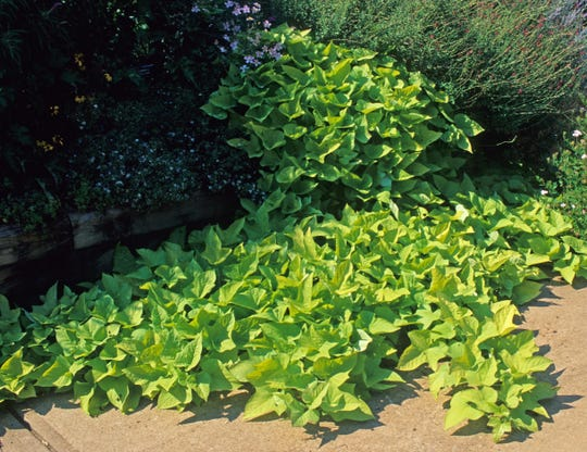 Sweet potato vines make an excellent summer ground cover, shading out pesky weeds.