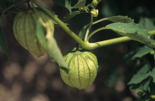 Tomatillos, which are also known as husk tomatoes or Mexican groundcherries, love the heat of summer.