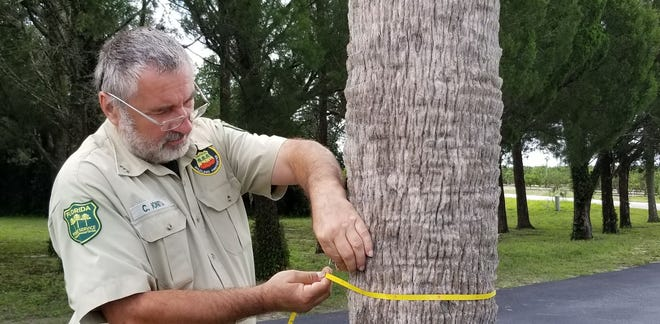 "Calin Ionita, a senior forester with the Florida Forest Service, measures the  trunk of a new ""National Champion"" tree."