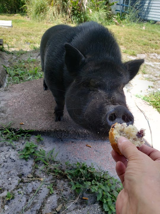 The black Vietnamese pot-bellied pig that escaped from its owner Aug. 26 has been donated to a sanctuary farm in Fellsmere, police spokesman says.