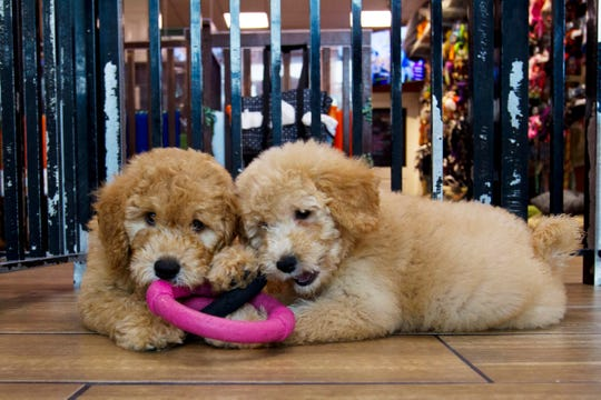 "Puppies play in a cage at a pet store in Columbia, Md., Monday, Aug. 26, 2019. Pet stores are suing to block a Maryland law that will bar them from selling commercially bred dogs and cats, a measure billed as a check against unlicensed and substandard ""puppy mills."""