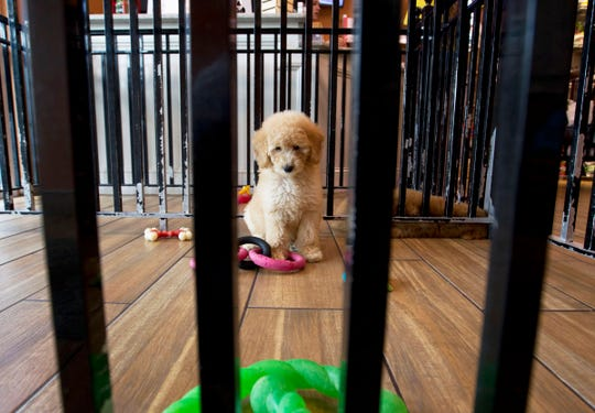 "A puppy plays with toys at a pet store in Columbia, Md., Monday, Aug. 26, 2019. Pet stores are suing to block a Maryland law that will bar them from selling commercially bred dogs and cats, a measure billed as a check against unlicensed and substandard ""puppy mills."""