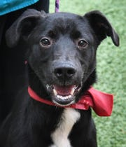 Tahoe is a 9-month old, black and white, Anatolian Shepherd mix. He is smart, playful and available for adoption at the Wichita Falls Animal Services Center.