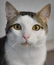 Sebastian is a 1-year-old, white and gray, domestic short-haired cat. Sebastian is calm, sweet and available for adoption at the Wichita Falls Animal Services Center.