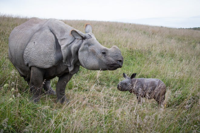 One-Horned Rhino Sanya with her calf born on Aug. 24 at The Wilds conservation center in Cumberland. It is the fifth calf born to Sanya and the first for father, Jahi.