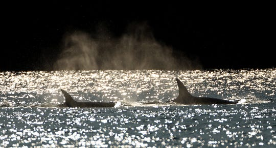 The sun catches the spray from blowholes as two transient orca swims through the Port Washington Narrows and into Dyes Inlet on Tuesday, August 27, 2019.
