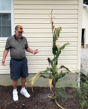 Matt Jacovelli marvels at the cornstalk that sprouted in his vegetable garden after squirrels buried some seeds. The cornstalk has grown about 28 cobs.