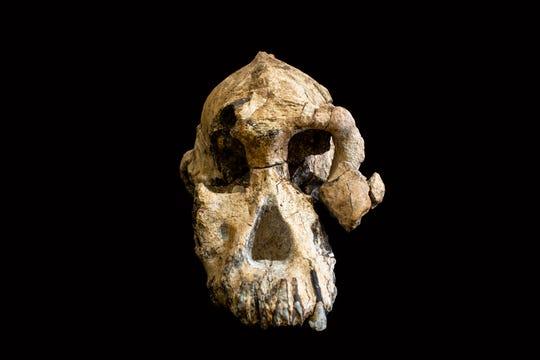 A fossilized cranium of Australopithecus anamensis.