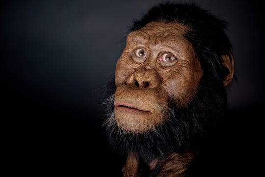 "A facial reconstruction model by John Gurche made from a fossilized cranium of Australopithecus anamensis. The species is considered to be an ancestor of A. afarensis, represented by ""Lucy"" found in 1974. F"
