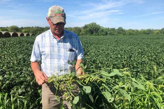 "Farmer Randy Miller with his soybeans at his farm in Lacona, Iowa. Miller, who also farms corn, is among farmers unhappy with President Donald Trump over waivers granted to oil refineries that have sharply reduced demand for corn-based ethanol. Miller called it ""our own country stabbing us in the back."""