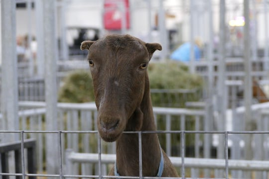 Animals, of course, are the heart and soul of the State Fair, like this friendly goat.