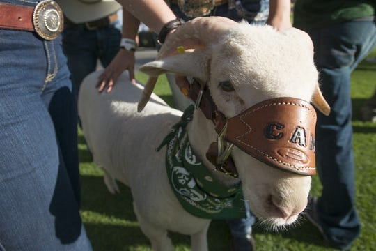 Colorado State mascot Cam 25 is pictured on the sidelines at the Rocky Mountain Showdown. Its predecessor, Cam 24, died the same day, September 19, 2015.
