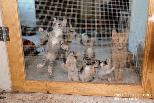 """Cats await rescue from Animal Rescue Corps members at a former """"cat sanctuary"""" in Hardin County on Aug. 28, 2019. Many of the cats suffered from eye infections, respiratory infections and other illnesses."""